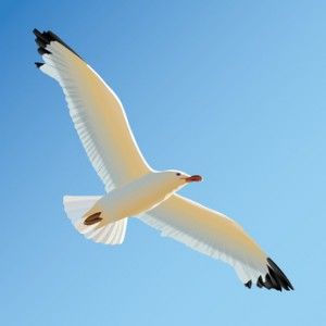 White seagull soaring in blue sky